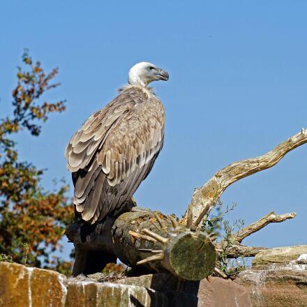 vulture, bird, animal world, Sony ILCE-7