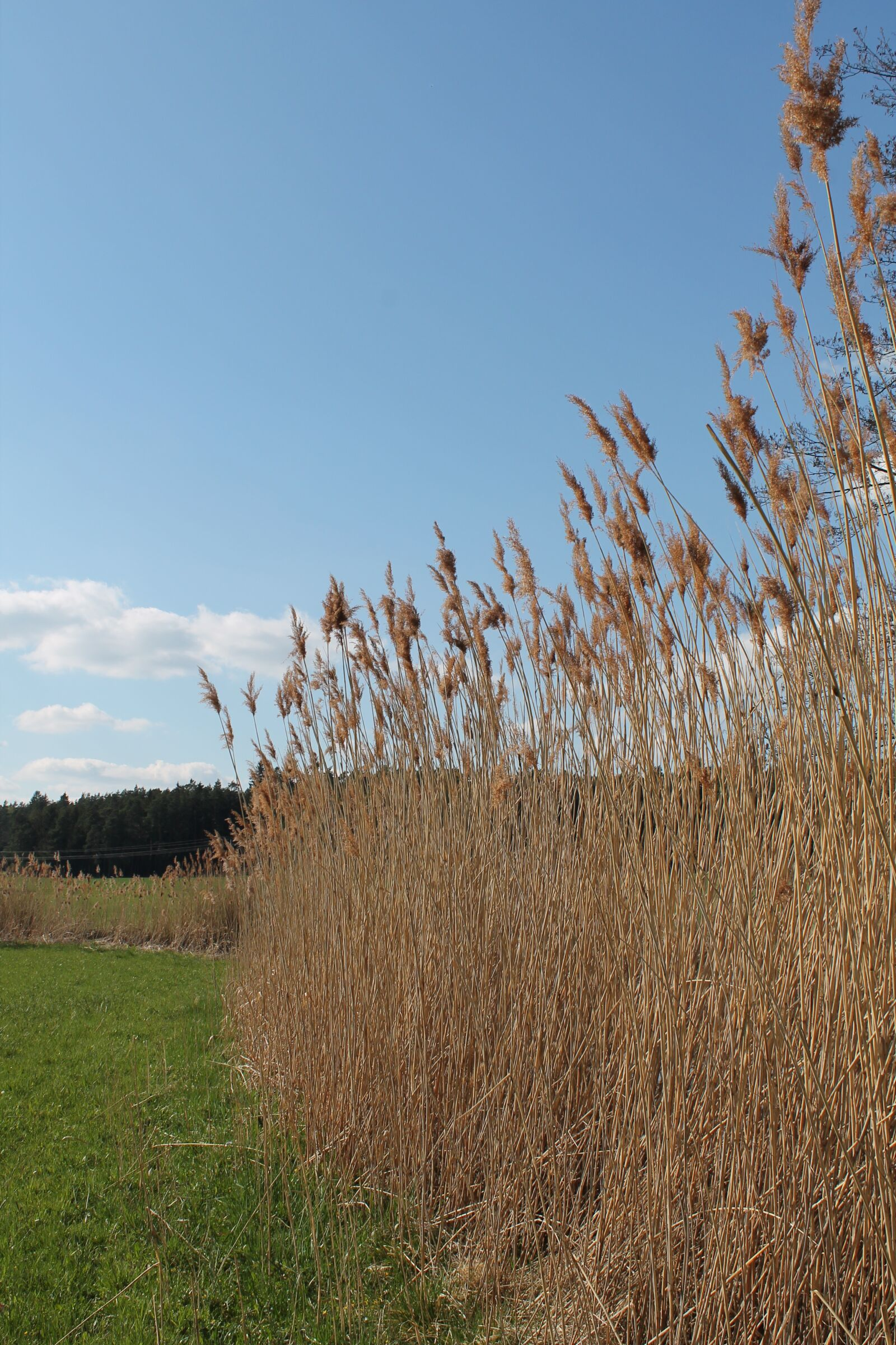 """Canon EOS 1100D (EOS Rebel T3 / EOS Kiss X50) sample photo. """"Reed, reed flowers, nature"""" photography"""