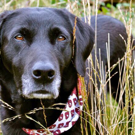 labrador, grass, scarf, Canon EOS 1100D