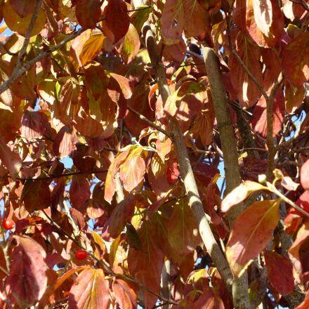 leaves, autumn, dogwood, Fujifilm FinePix HS25EXR