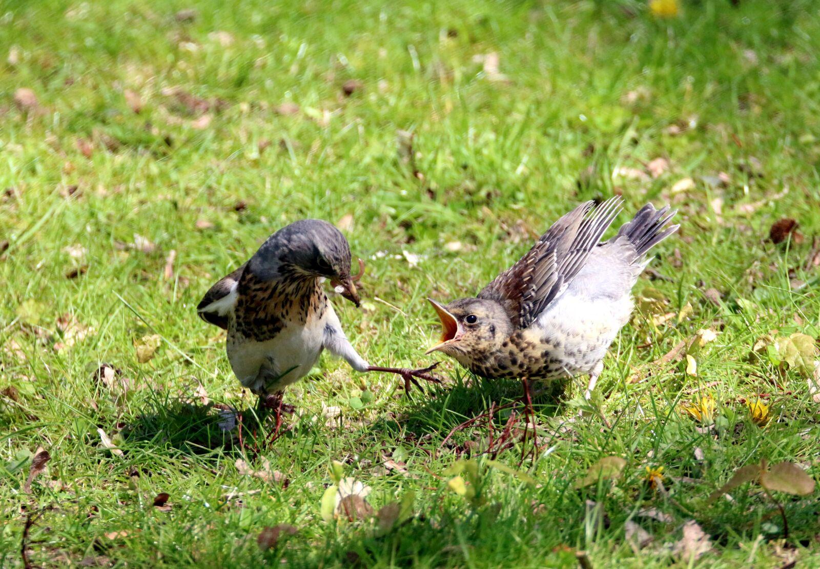 """Canon EOS 70D sample photo. """"Fieldfare, bird, young bird"""" photography"""