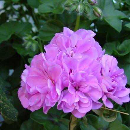 rose geranium, pink flowers, Fujifilm FinePix S5000