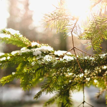 closeup, conifers, fir, forest, Nikon D7100