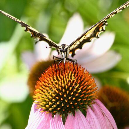 monarch butterfly, garden, butterfly, Canon EOS REBEL T1I