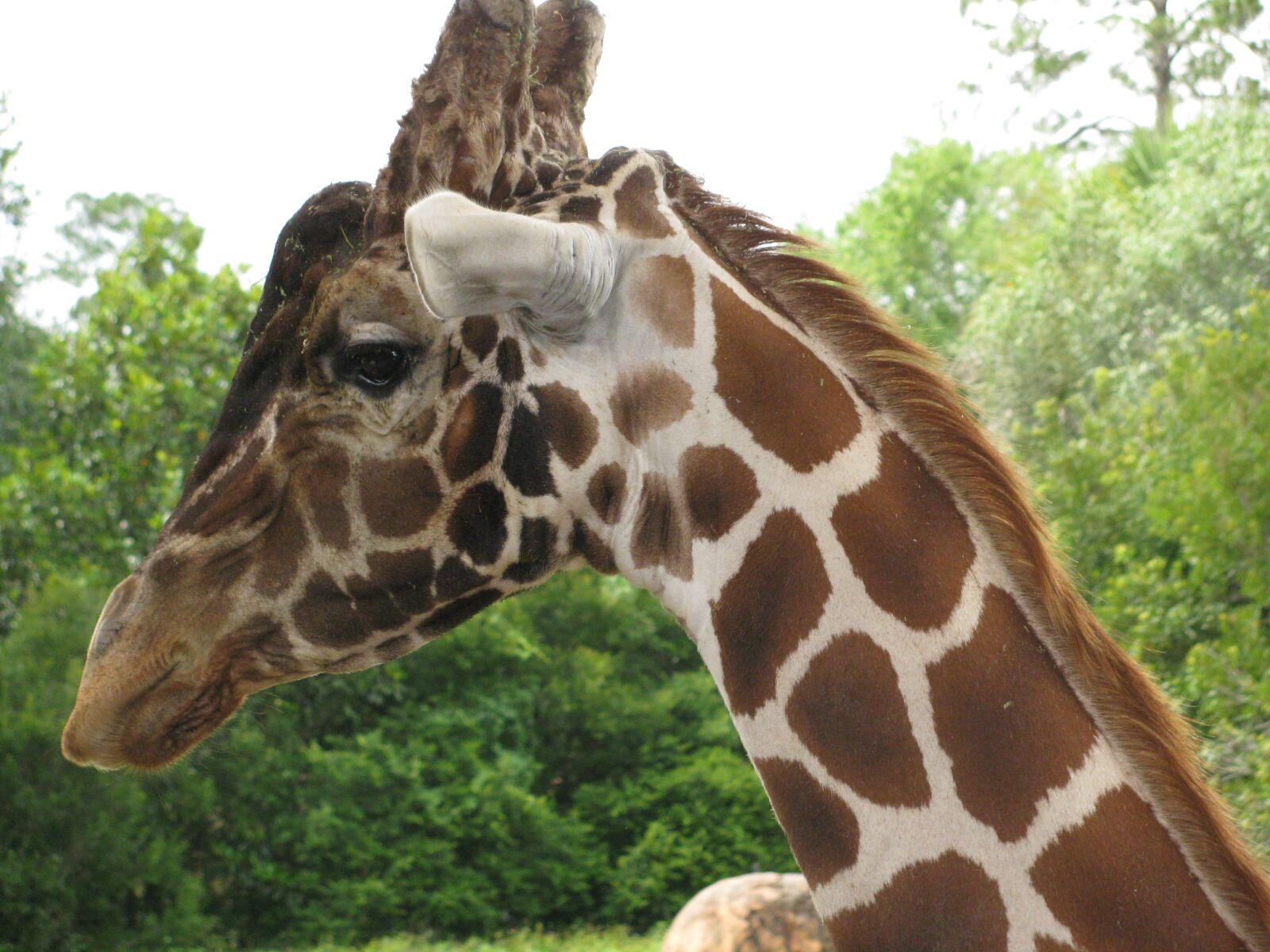 "Canon PowerShot SX110 IS sample photo. ""Giraffe, zoo, animal"" photography"