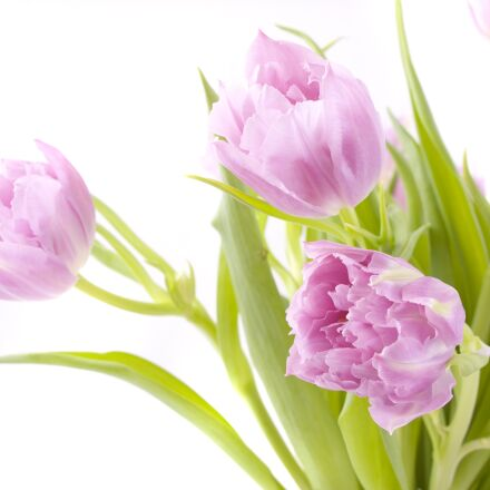 flowers, tulips, spring, Canon EOS 40D