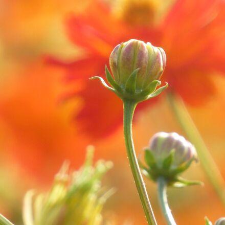 flower, bud, hope, Panasonic DMC-ZS20