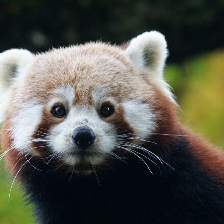 panda, red panda, ailurus, Sony ILCA-77M2