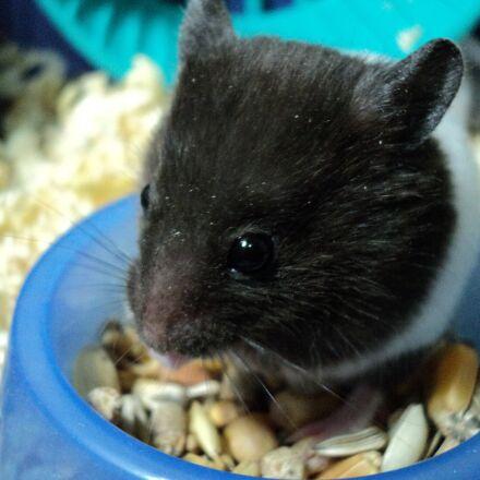 hamster, animal, rodent, terrarium, Sony DSC-S2000