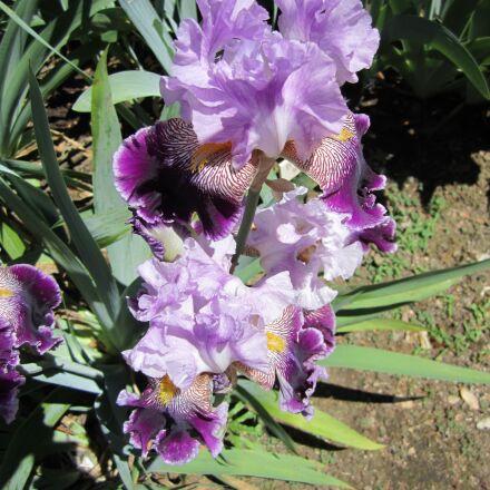 iris, flower, flowers, Canon POWERSHOT SD1400 IS