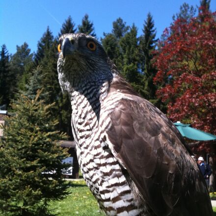 falcon, bird of prey, Apple iPhone 3GS