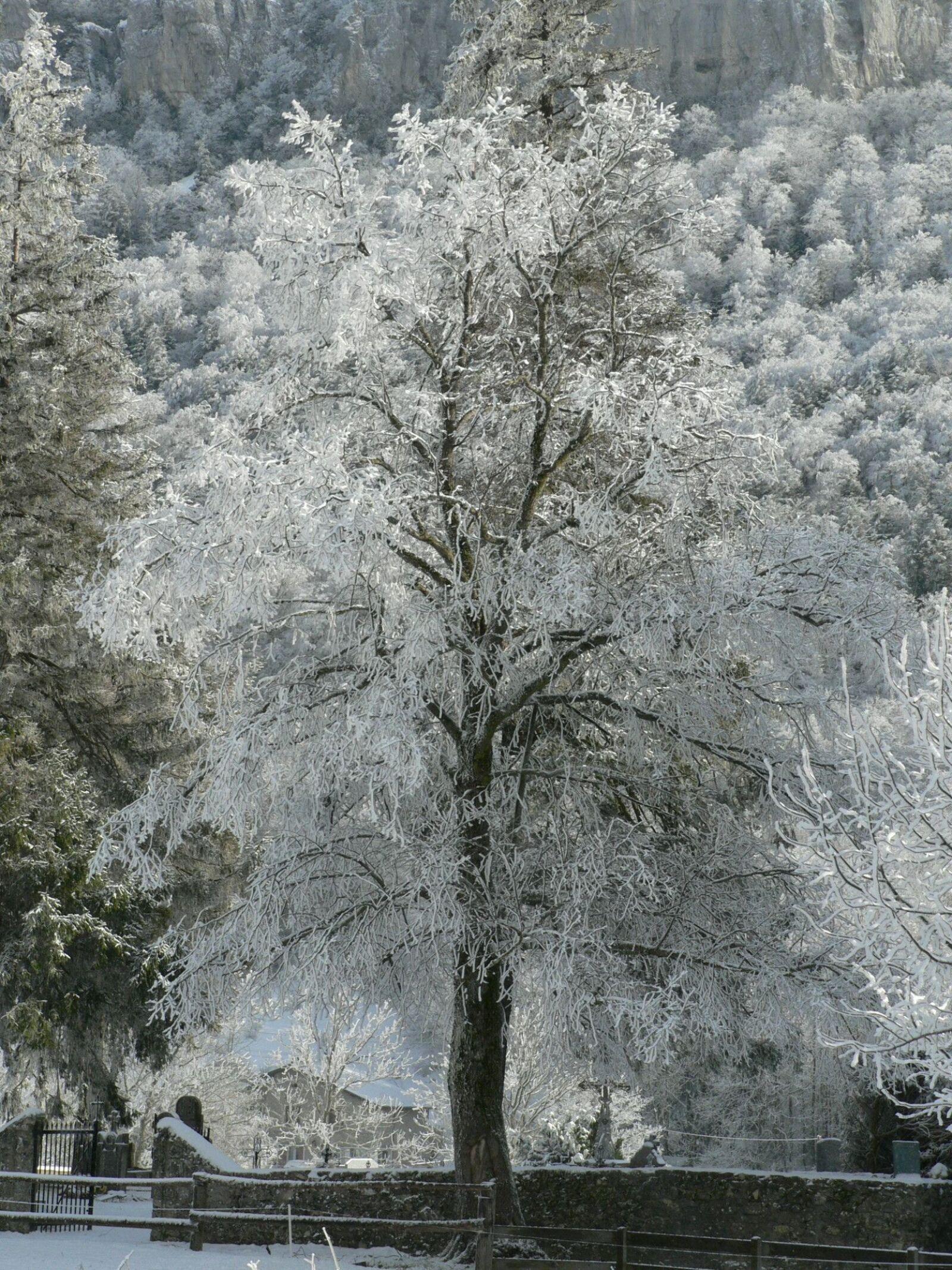tree, frost, winter