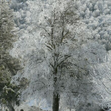 tree, frost, winter, Panasonic DMC-FZ5