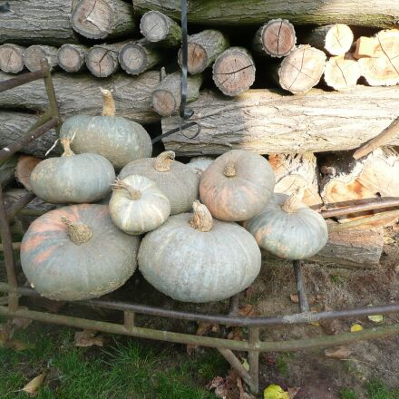 pumpkins, pumpkin, halloween, Panasonic DMC-TZ2