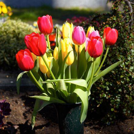 tulips, colorful, flowers, Sony SLT-A99V