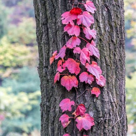 korea, leaves, autumn, Sony ILCA-77M2