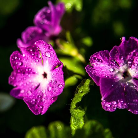 flower, droplets, dewdrops, Sony SLT-A77