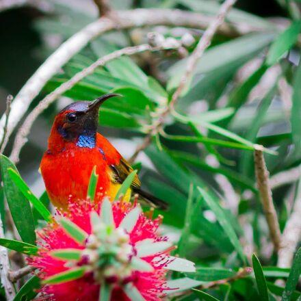 sunbird bird, birds, doi, Canon EOS 70D