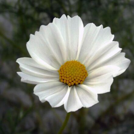 flower, cosmos, cosmea, Fujifilm FinePix S2980