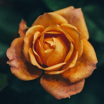 rose, flower, flowers, Canon EOS 5D MARK II