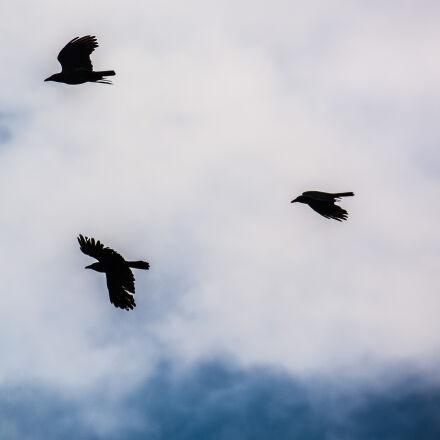 birds, ravens, Nikon D7100