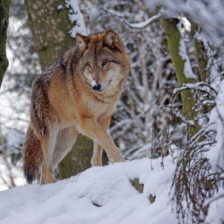 wolf, predator, mongolian, Sony ILCA-77M2