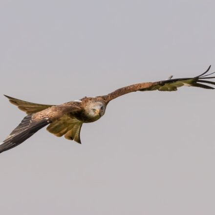 red tailed kite, bird, Canon EOS 80D
