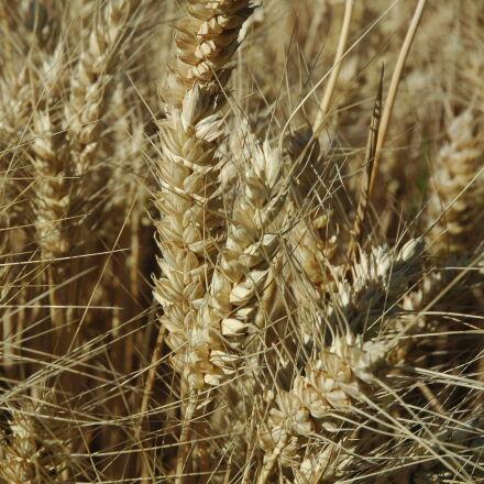 ear, wheat, Nikon D70S