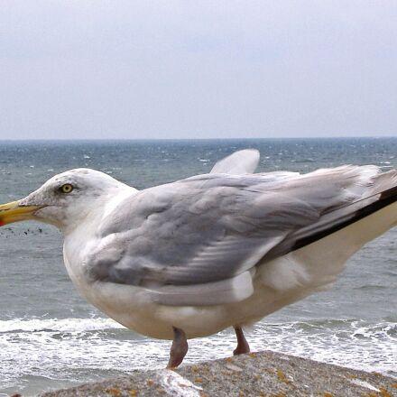 seagull, sea, north sea, Fujifilm FinePix A345