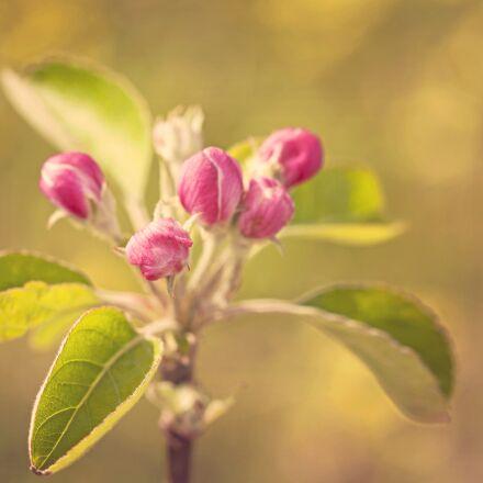 blossom, apple, spring, Canon EOS 5D MARK II