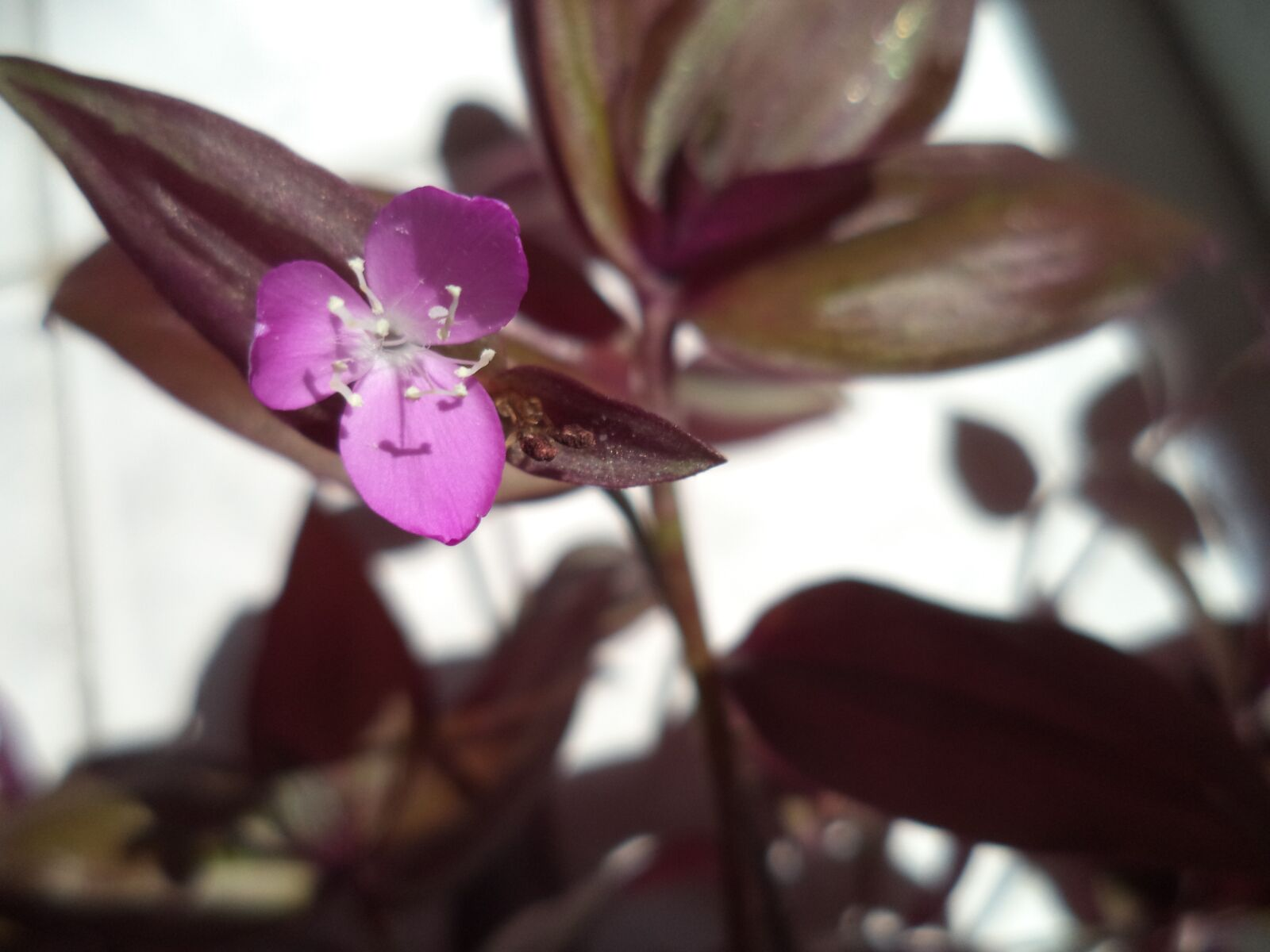 spiderwort, flowers, purple