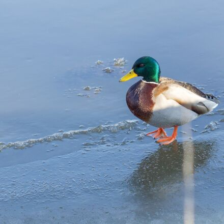 duck, wild duck, animal, Canon EOS 550D