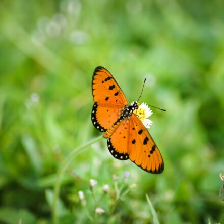 butterfly, orange, nature, Sony SLT-A33