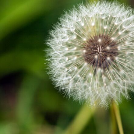 dandelion, white, fluffy, Canon EOS 5D MARK II