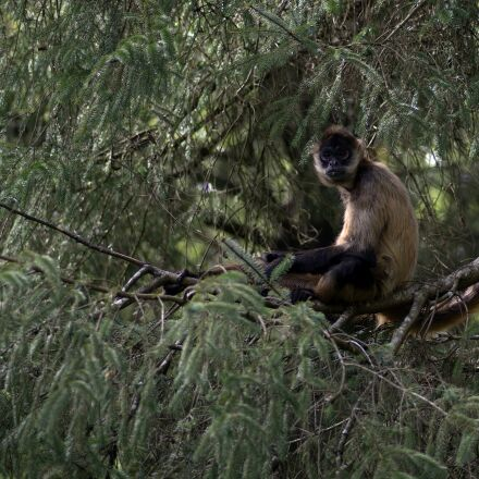 monkey, primate, animal, RICOH PENTAX K-3