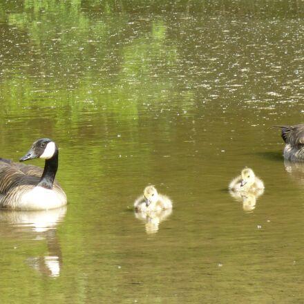 ducks, chicks, family, Panasonic DMC-SZ7