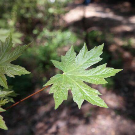 leaf, maple, plant, Samsung NX30