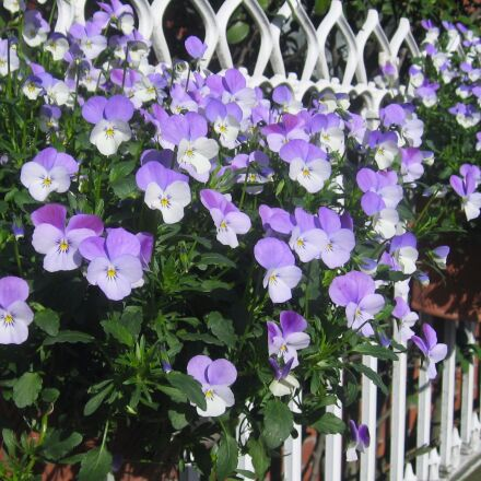 pansy, sumire, fence, Canon IXY DIGITAL 800 IS