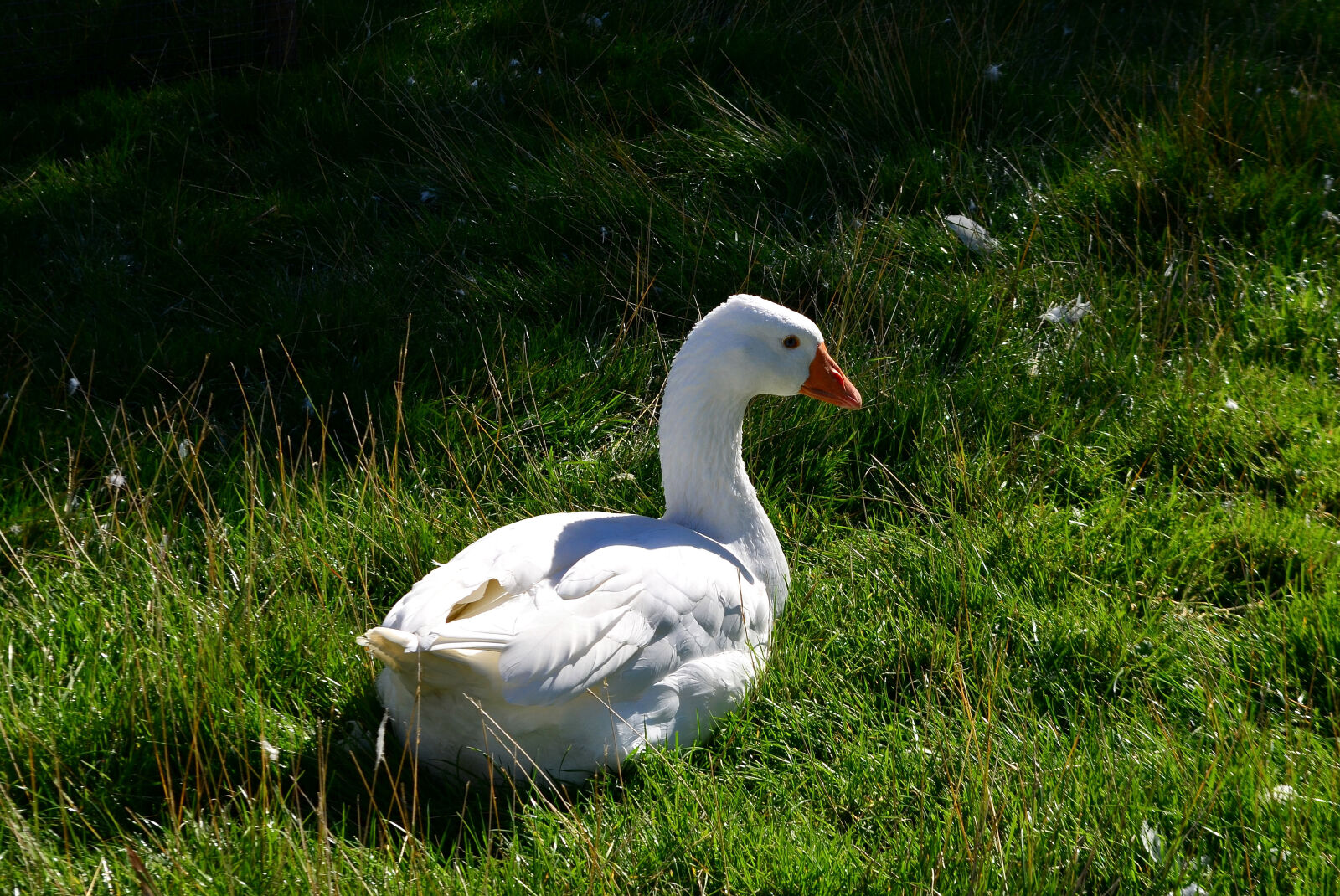 "Nikon D5100 sample photo. ""Scotland, geese, goose, wild"" photography"