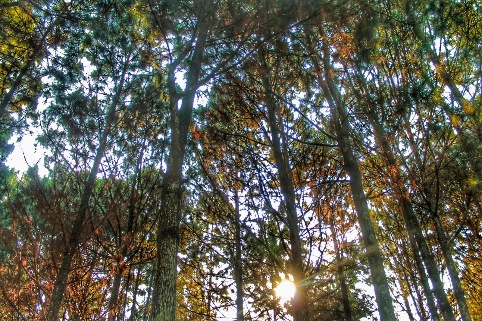 """Canon EOS 1100D (EOS Rebel T3 / EOS Kiss X50) sample photo. """"Pine, the tree, forest"""" photography"""
