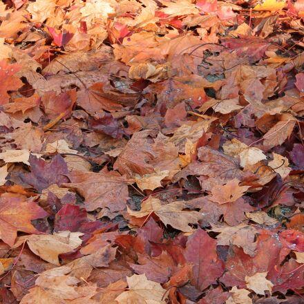 leaves, fall foliage, fall, Canon EOS 1100D