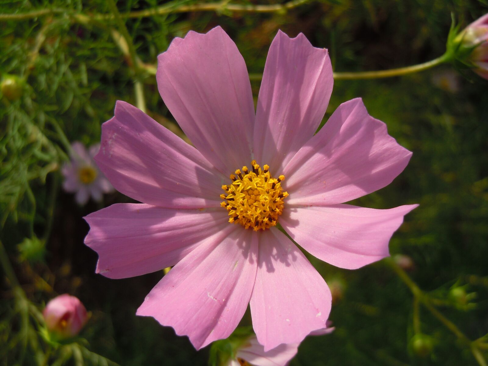 """Nikon Coolpix S8000 sample photo. """"Pink, cosmos, in autumn"""" photography"""