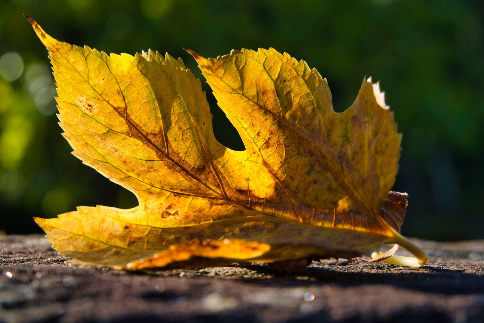 """Sony a6400 sample photo. """"Nature, leaf, maple"""" photography"""