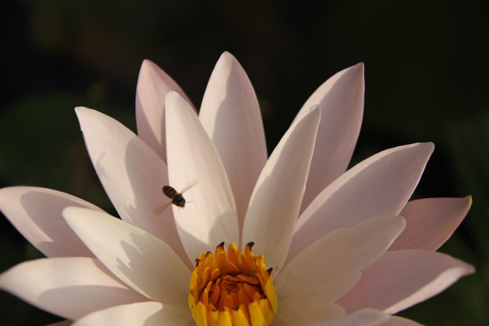 """Canon EOS 50D sample photo. """"Pink water lily, pond"""" photography"""