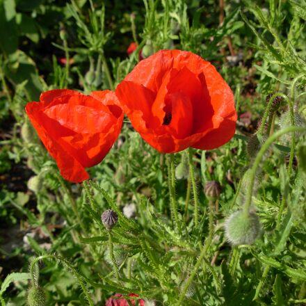 flower, world war 1, summer, Nikon COOLPIX L5