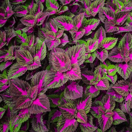 leaf, violet, green, Pentax K-30