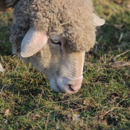 sheep, pasture, graze, Canon EOS 600D