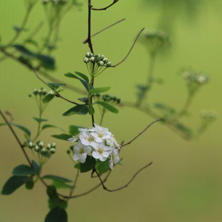 meadowsweet, shrub, nature, Canon EOS 70D