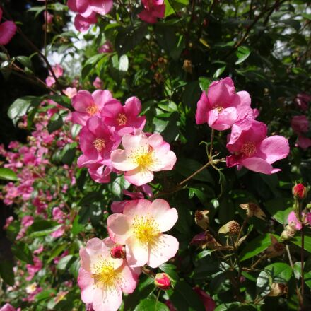 roses, flowers, pink, Sony DSC-WX200