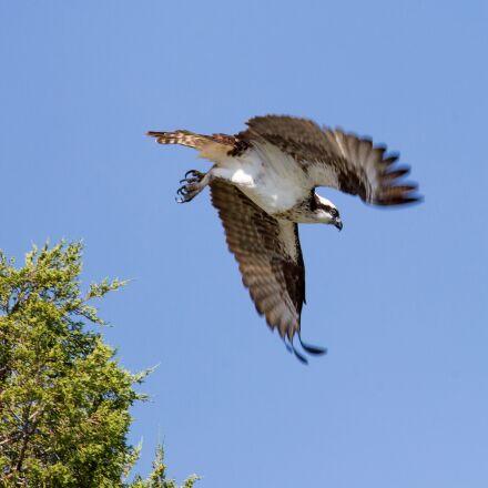 bird, osprey, flying, Canon EOS 5D MARK III